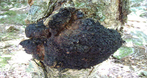 Chaga – A Powerful Mushroom That Can Kill Cancer