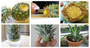 How to Grow Your Own Pineapple at Home! Must Read!