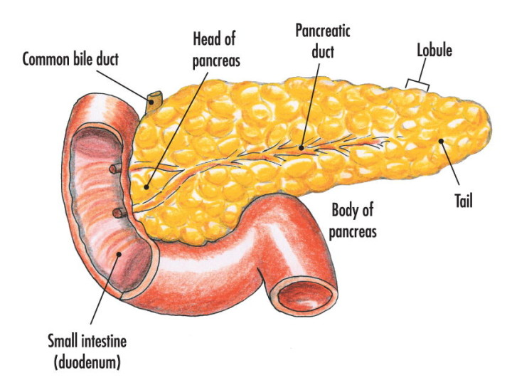 pancreas-text-720x541