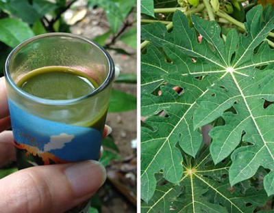 Here's How to Significantly Increase Your Blood Platelet Count with Papaya Leaf Juice