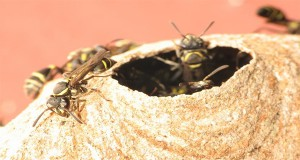 The Venom of These Brazilian Wasps Successfully Kills Cancer Cells