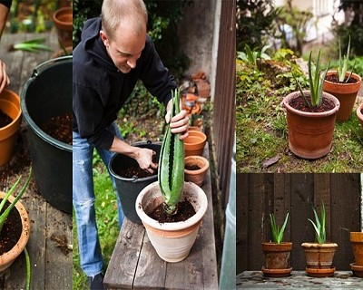 Here is How To Grow Aloe Vera At Home (And Health Benefits)