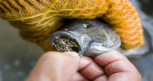 Stop Eating This Fish ASAP! Read About The Disgusting Reasons Why!!!