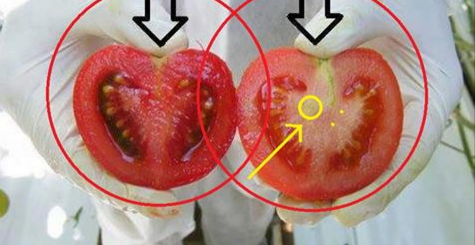 WE EAT TOXINS! Here is how to recognize GMO TOMATOES IN 2 STEPS! (PHOTO)