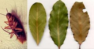 Place a Few of These Leaves in the Corners of Your House and You Will Never See a Roach Again